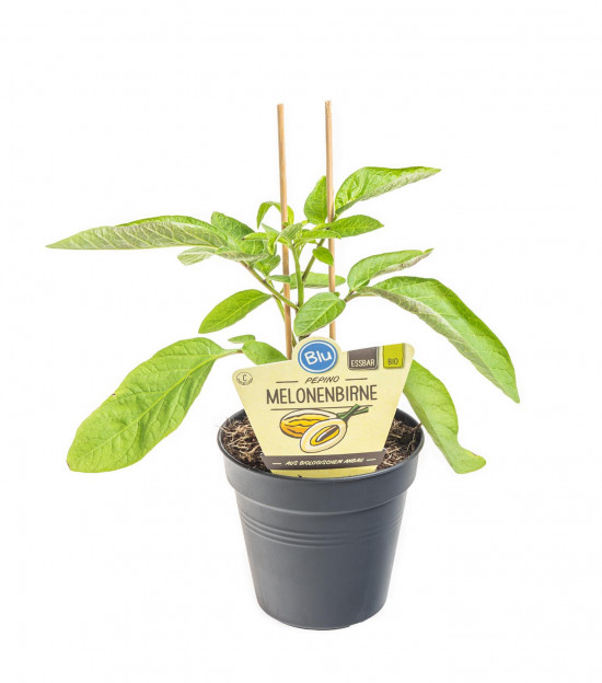 Bio Pepíno, Hruška melounová, Solanum muricatum, v květináči