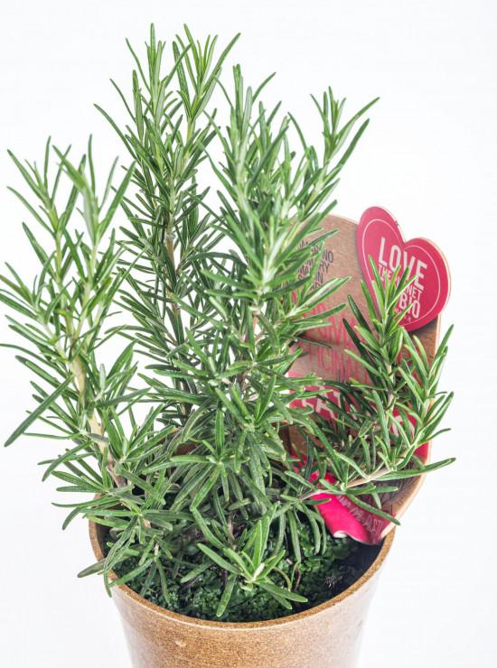 Bio Rozmarýn lékařský, Rosmarinus officinalis EATME, v květináči-10385