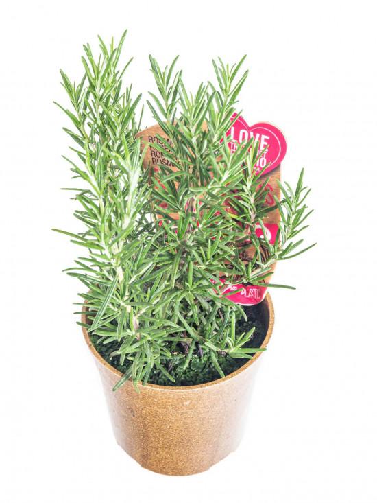 Bio Rozmarýn lékařský, Rosmarinus officinalis EATME, v květináči-10386