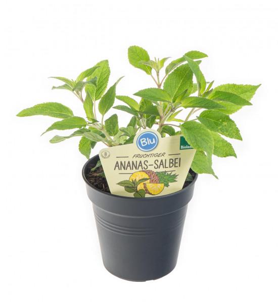 Bio Šalvěj ananasová, Salvia rutilans, v květináči