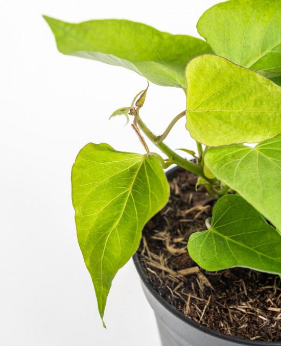Bio Sladká batáta, Ipomea batata, v květináči-8937