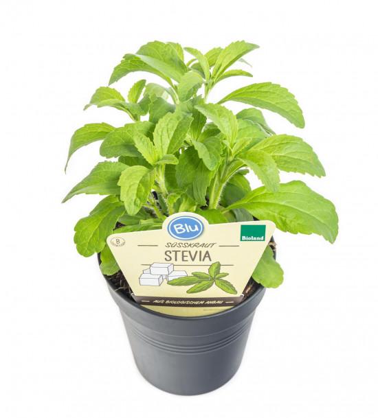 Bio Stévie sladká, Stevia rebaudiana, v květináči-8922