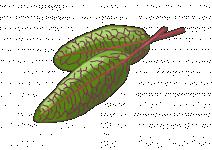 Bio Šťovík krvavý, Rumex sanguineus, v květináči-2555