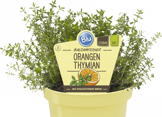 Bio Tymián pomerančový, Thymus citriodorus, Fragrantissimus orange, v květináči-2580