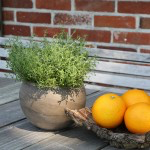 Bio Tymián pomerančový, Thymus citriodorus, Fragrantissimus orange, v květináči-2582