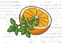 Bio Tymián pomerančový, Thymus citriodorus, Fragrantissimus orange, v květináči-2583