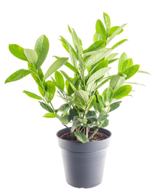 Bobkovišeň lékařská, Prunus laurocerasus Rotundifolia, velikost kontejneru 2.5 l