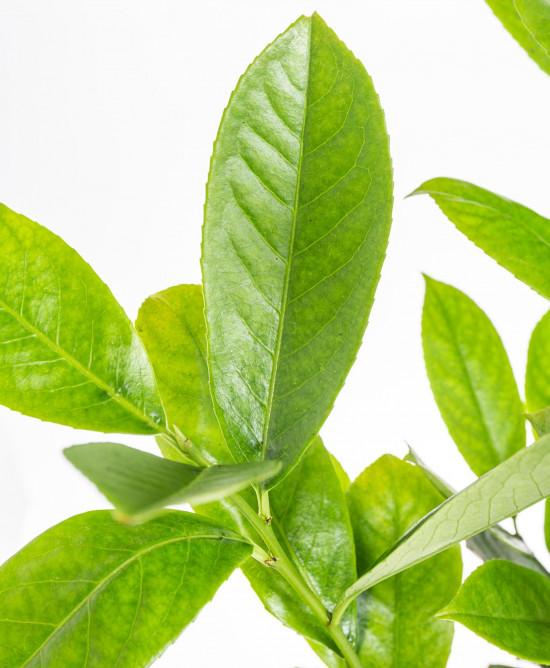 Bobkovišeň lékařská, Prunus laurocerasus Rotundifolia, velikost kontejneru 2.5 l-9529
