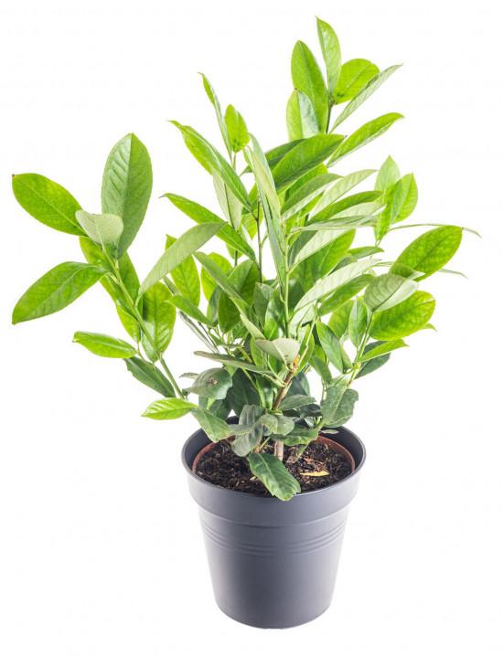 Bobkovišeň lékařská, Prunus laurocerasus Rotundifolia, velikost kontejneru 2.5 l-9530
