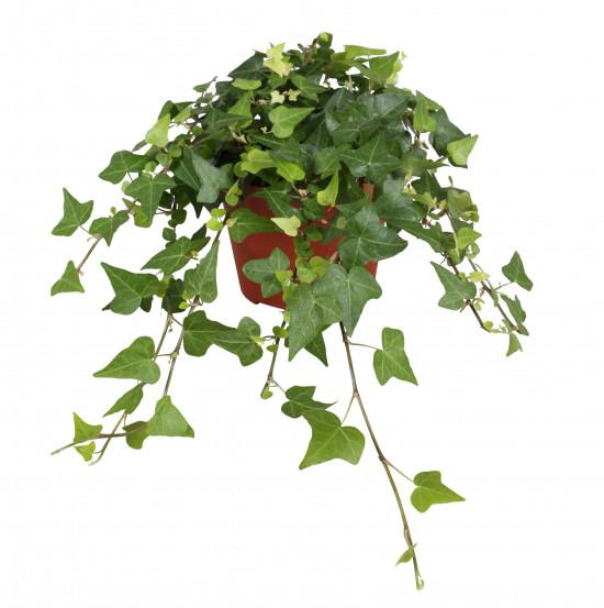 Břečťan popínavý pokojový, Hedera helix, zelený, průměr květináče 13 cm-3567