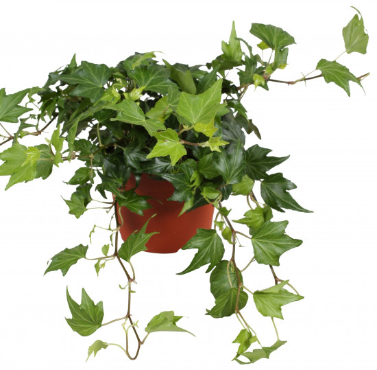 Břečťan popínavý pokojový, Hedera helix, zelený, průměr květináče 13 cm-3568