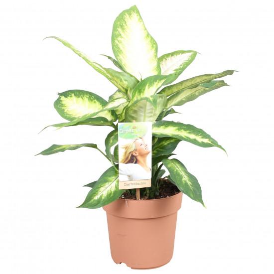 Difenbachie, Dieffenbachia Compacta, průměr květináče 17 cm-2706