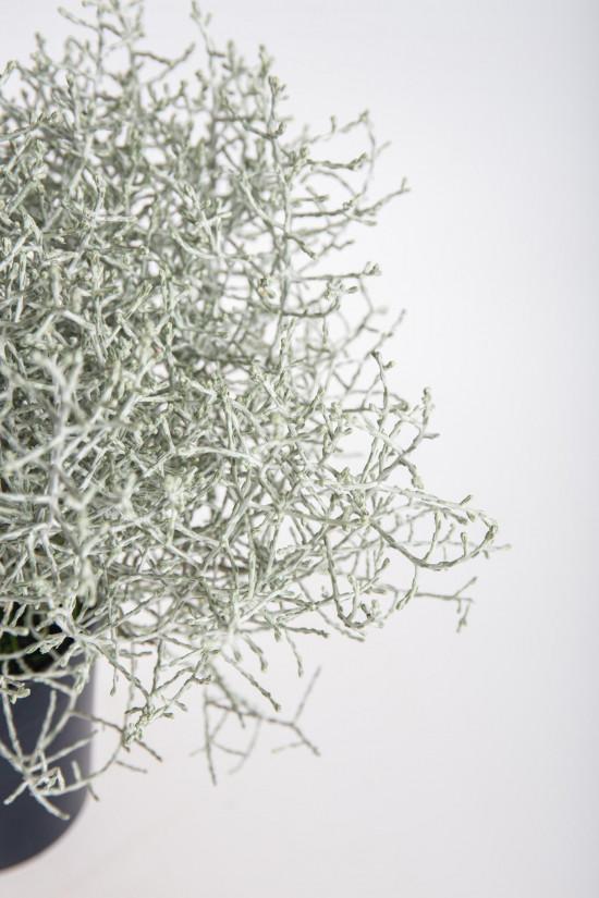Drátovec, Calocephalus, průměr květináče 11 cm-13053
