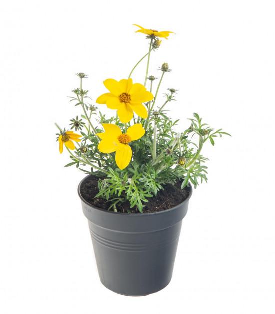 Dvouzubec, Bidens, žlutý, průměr květináče 10 - 12 cm-8057