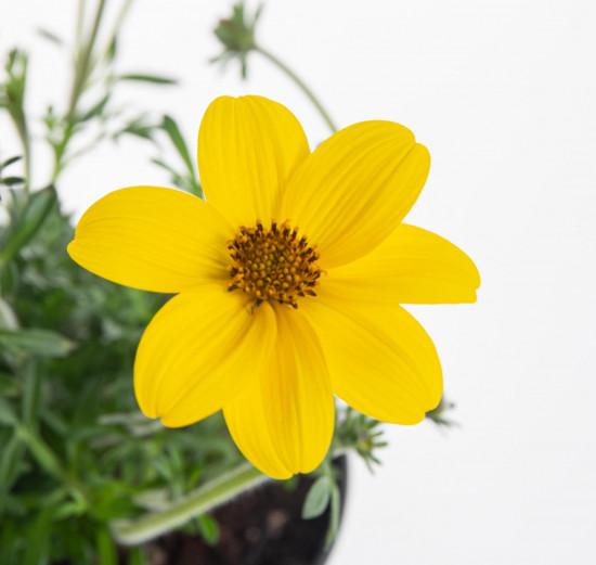 Dvouzubec, Bidens, žlutý, průměr květináče 10 - 12 cm-8058