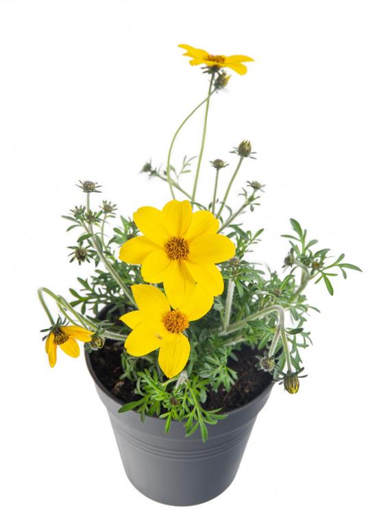 Dvouzubec, Bidens, žlutý, průměr květináče 10 - 12 cm-8059