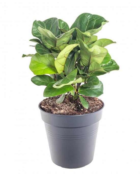 Fíkus, Ficus lyrata Bambino, průměr květináče 21 cm
