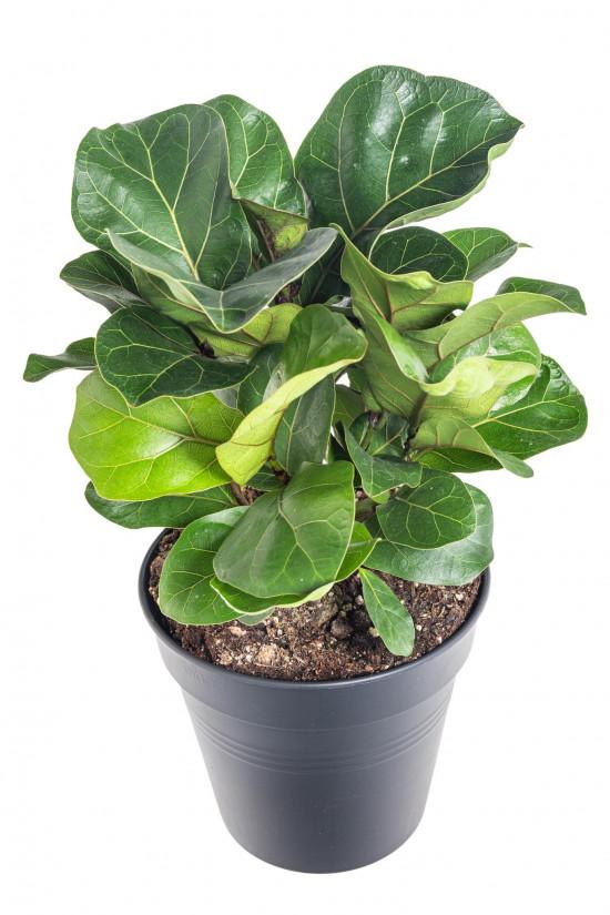 Fíkus, Ficus lyrata Bambino, průměr květináče 21 cm-11927