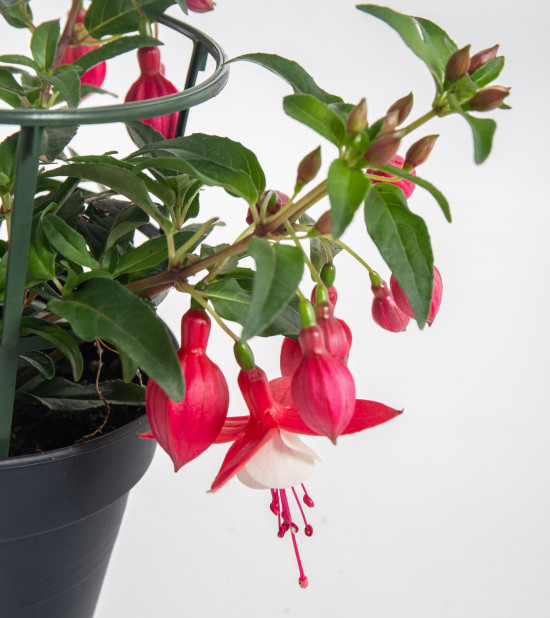 Fuchsie duo, Fuchsia, tříbarevná, velikost květináče 12 - 13 cm-8112