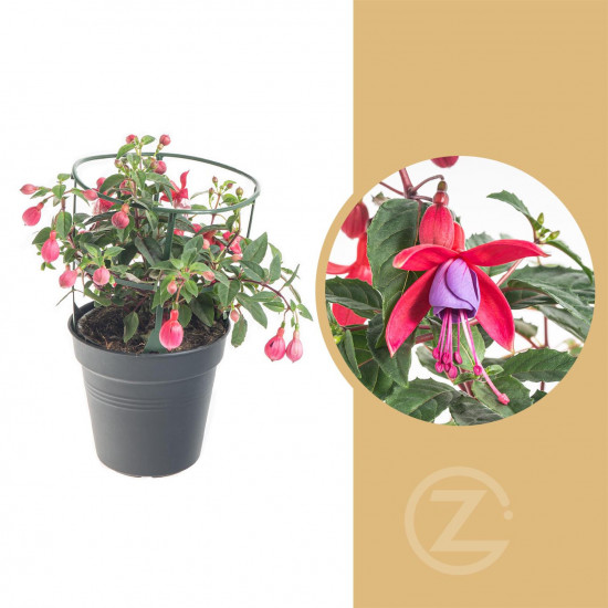 Fuchsie duo, Fuchsia, tříbarevná, velikost květináče 12 - 13 cm