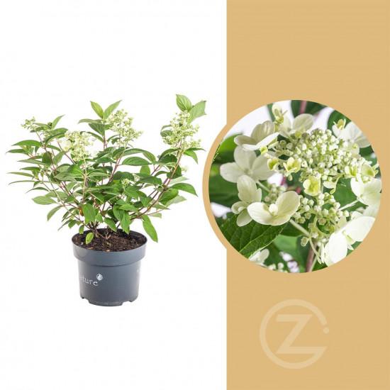 Hortenzie latnatá, Hydrangea paniculata Wim's Red, bílo - červená