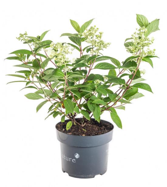 Hortenzie latnatá, Hydrangea paniculata Wim's Red, bílo - červená-11052