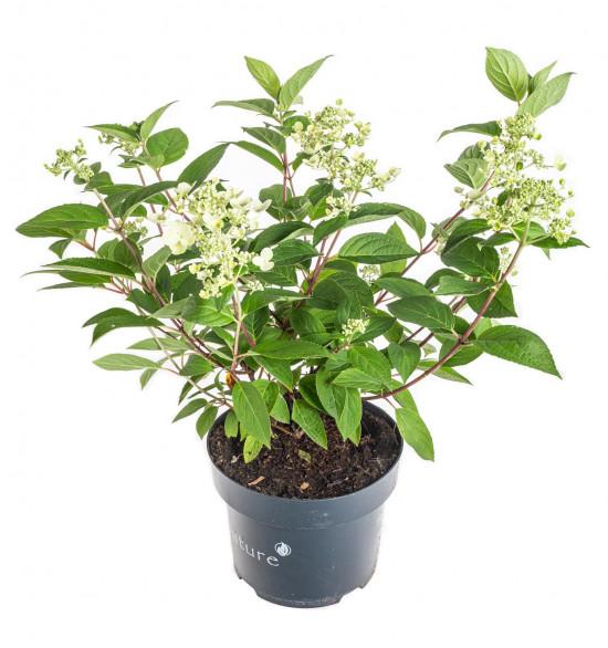 Hortenzie latnatá, Hydrangea paniculata Wim's Red, bílo - červená-11055
