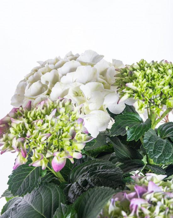 Hortenzie velkolistá, Hydrangea macrophyla Three Sisters, vícebarevná-10380