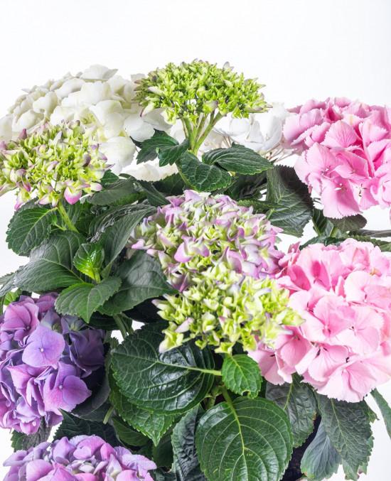 Hortenzie velkolistá, Hydrangea macrophyla Three Sisters, vícebarevná-10381