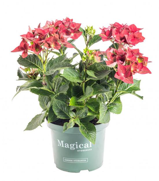 Hortenzie velkolistá, Hydrangea macrophylla Magical Sapphire, červená, velikost kontejneru 5 l-10174