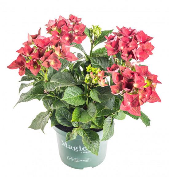Hortenzie velkolistá, Hydrangea macrophylla Magical Sapphire, červená, velikost kontejneru 5 l-10175