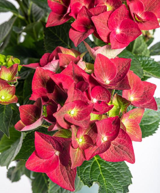 Hortenzie velkolistá, Hydrangea macrophylla Magical Sapphire, červená, velikost kontejneru 5 l-10177