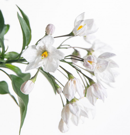 Jasmínokvětý lilek, Solanum jasminoides, bílý, průměr květináče 10 - 12 cm-8062