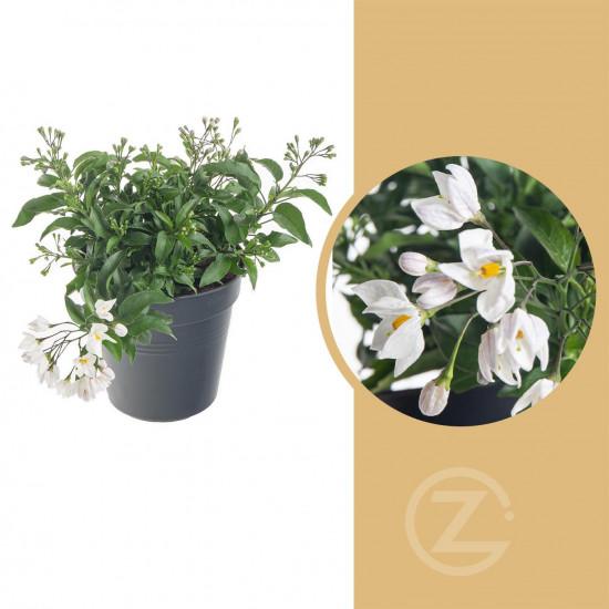 Jasmínokvětý lilek, Solanum jasminoides, bílý, velikost květináče 10 - 12 cm-8060