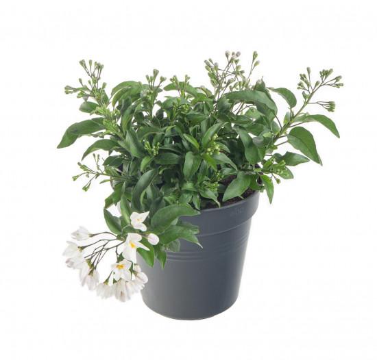 Jasmínokvětý lilek, Solanum jasminoides, bílý, velikost květináče 10 - 12 cm-8061