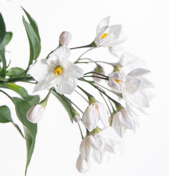 Jasmínokvětý lilek, Solanum jasminoides, bílý, velikost květináče 10 - 12 cm-8062