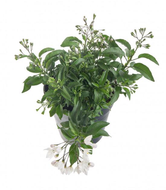 Jasmínokvětý lilek, Solanum jasminoides, bílý, velikost květináče 10 - 12 cm-8064