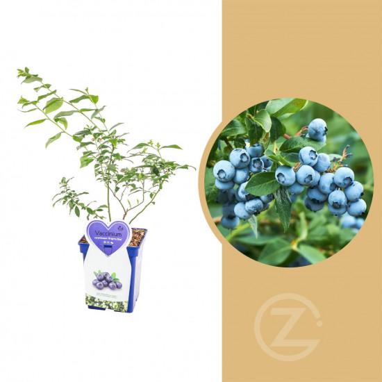 Kanadská borůvka, Vaccinium corymbosum Brigitta Blue, velikost kontejneru 5 l
