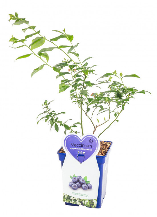 Kanadská borůvka, Vaccinium corymbosum Brigitta Blue, velikost kontejneru 5 l-10414