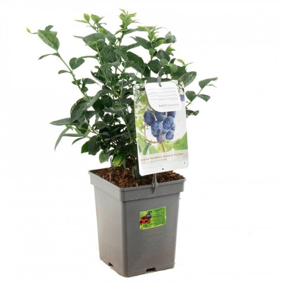 Kanadská borůvka, Vaccinium corymbosum Jersey, velikost kontejneru 5 l