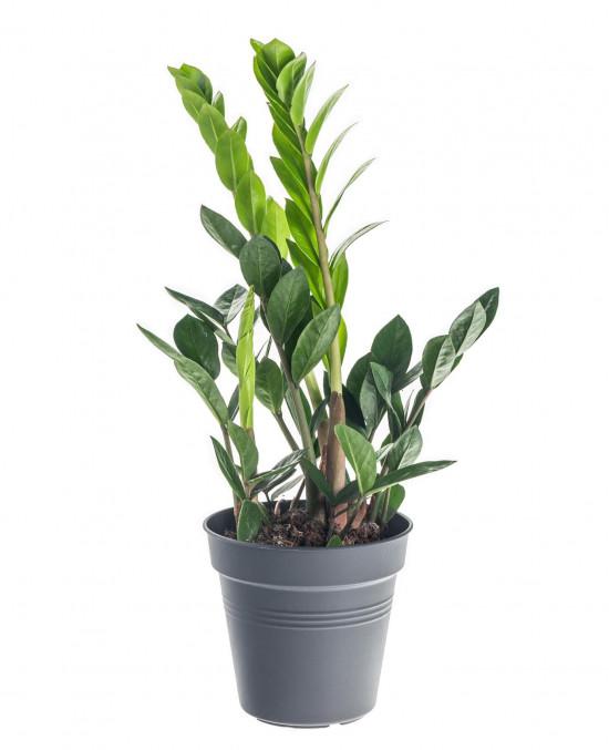 Kulkas zamiolistý, Zamioculcas zamiifolia, průměr květináče 12 - 13 cm