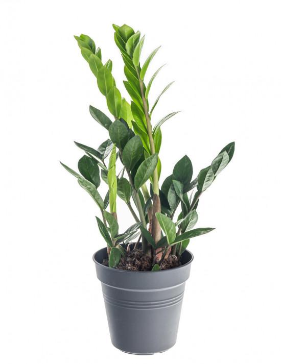 Kulkas zamiolistý, Zamioculcas zamiifolia, průměr květináče 12 - 13 cm-7366