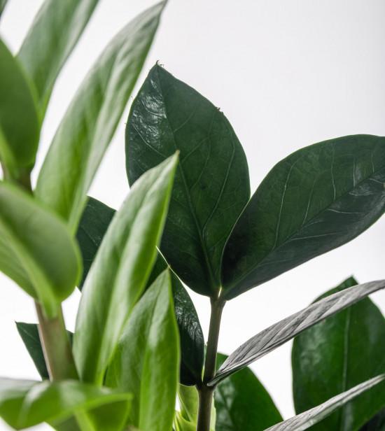 Kulkas zamiolistý, Zamioculcas zamiifolia, průměr květináče 12 - 13 cm-7367