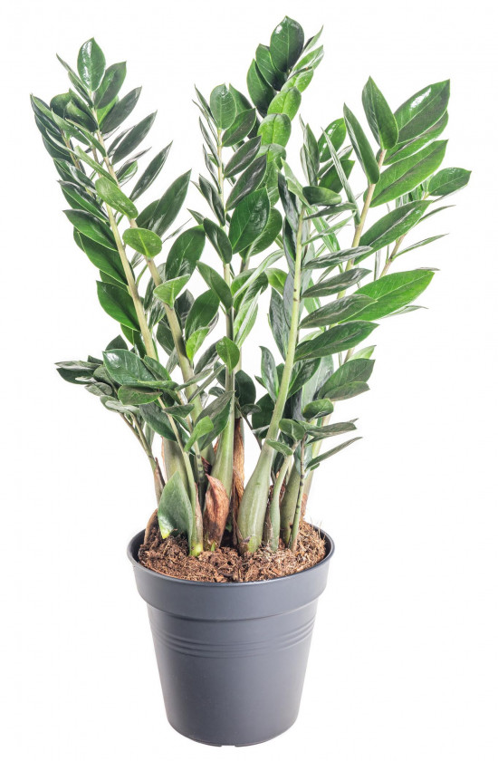 Kulkas zamiolistý, Zamioculcas zamiifolia, průměr květináče 17 cm