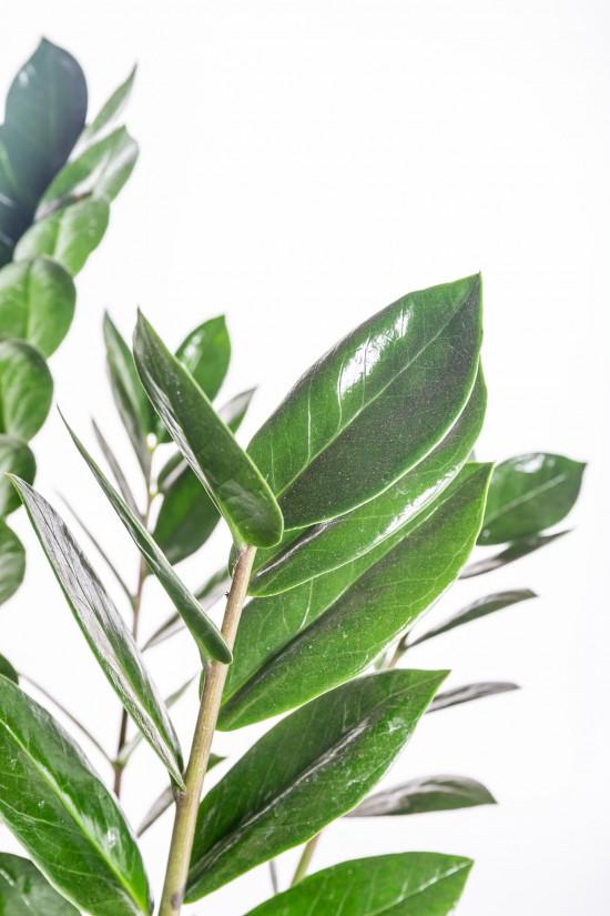 Kulkas zamiolistý, Zamioculcas zamiifolia, průměr květináče 17 cm-11027