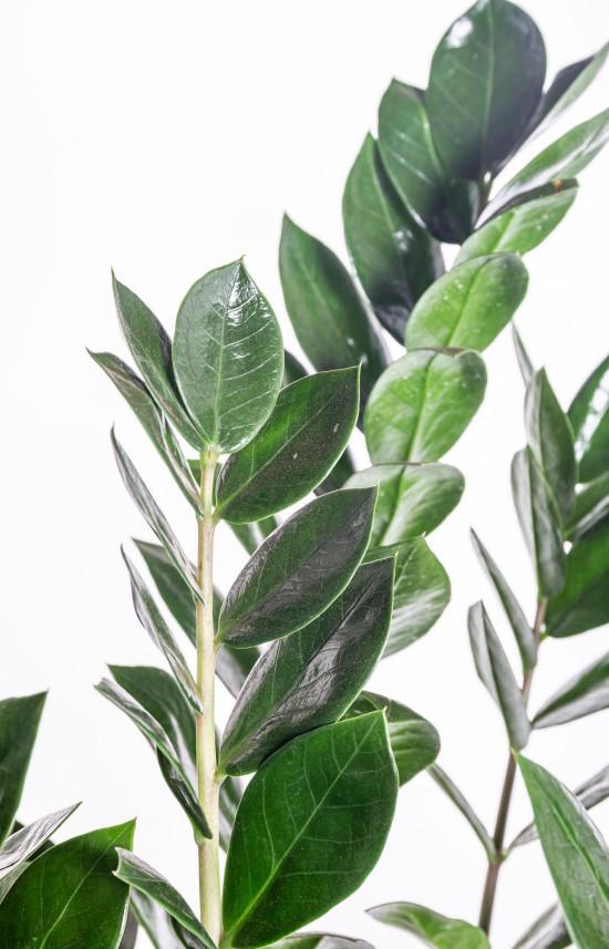 Kulkas zamiolistý, Zamioculcas zamiifolia, průměr květináče 17 cm-11028