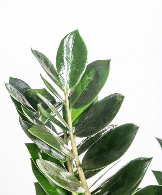 Kulkas zamiolistý, Zamioculcas zamiifolia, průměr květináče 17 cm-11029