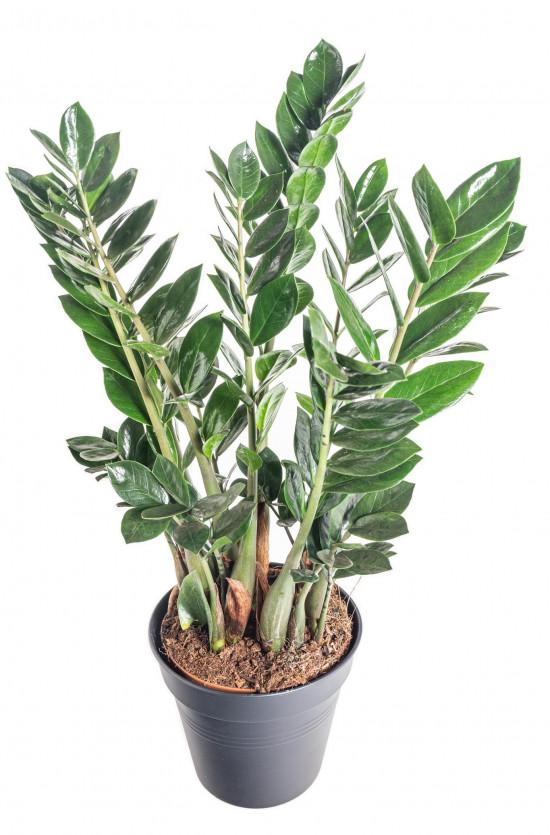 Kulkas zamiolistý, Zamioculcas zamiifolia, průměr květináče 17 cm-11030