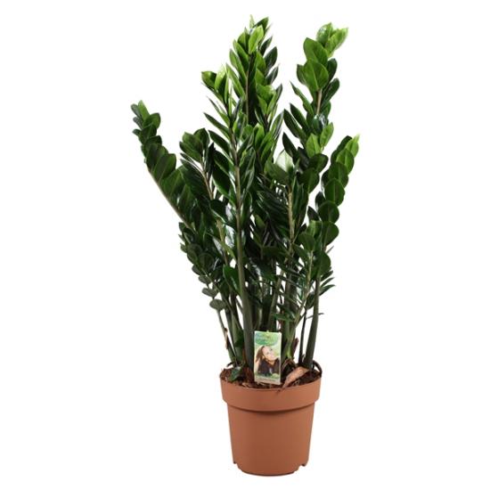 Kulkas zamiolistý, Zamioculcas zamiifolia, průměr květináče 21 cm-1828