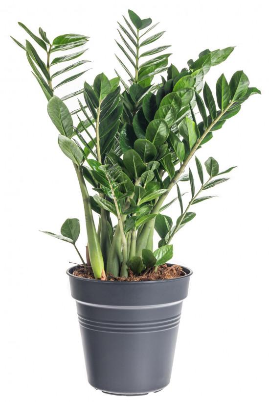 Kulkas zamiolistý, Zamioculcas zamiifolia, průměr květináče 24 cm-7475